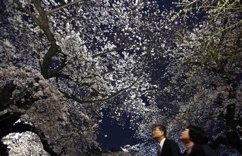 fiori di notte foto fiori di ciliegio come fiocchi di neve spettacolo