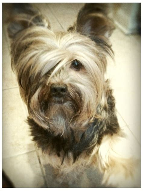 yorkies with bangs 80 best yorkies hairstyles for tucker images on pinterest
