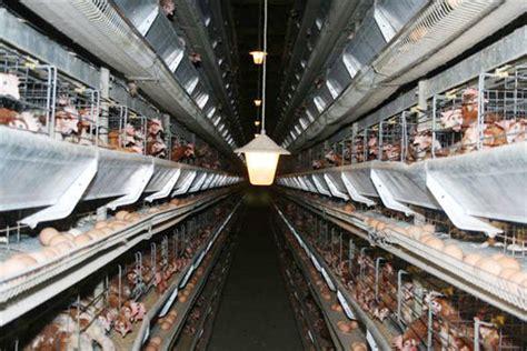 allevamento galline in gabbia galline in batteria italia nel mirino dell ue