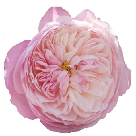 buy wholesale fresh cut pink roses constance david austin