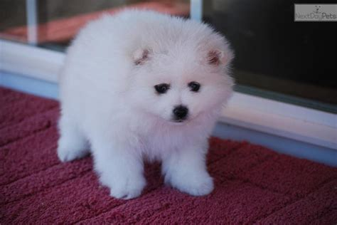 miniature american eskimo puppies miniature american eskimo dogs 41 by alex breeds picture