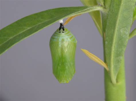 Pupa Blessed To Be by From A Chrysalis To A Butterfly Battered Blessed