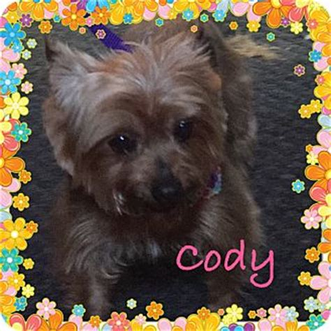 yorkies in maine kittery me silky terrier yorkie terrier mix meet a for adoption