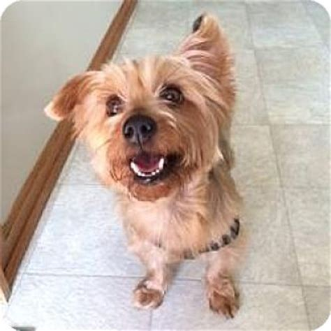 yorkie rescue wi milwaukee wi yorkie terrier mix meet peanut a for adoption