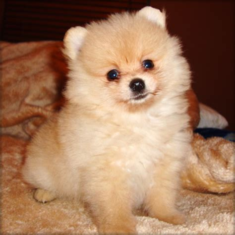 pomeranian teacups for sale pomeranian tea cup puppy for sale llanelli uk free classifieds muamat