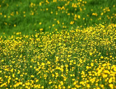 gelbe blumen im rasen kostenlose foto natur gras berg feld rasen wiese