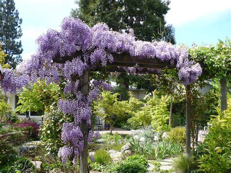 wisteria flower prune wisteria