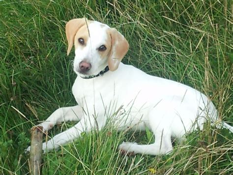 white beagle puppies alife 8 month lemon and white beagle for sale newport newport pets4homes