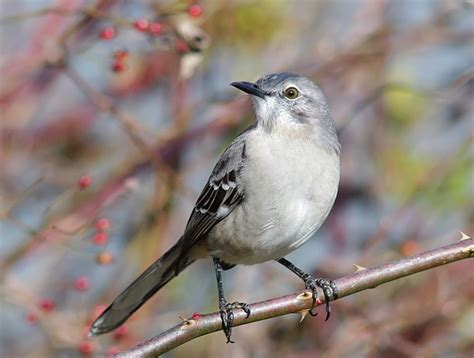 texas state bird mockingbird state birds pinterest