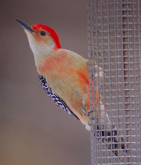 all about birds red bellied woodpecker