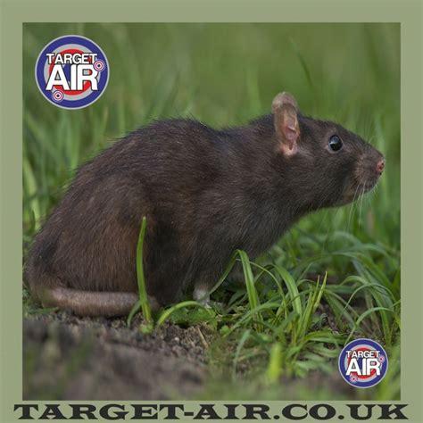printable rat targets animal full rat colour airsoft bb gun shooting targets