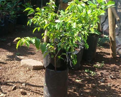 Jual Bibit Tin Black Ischia jual bibit tin ara fig mijen semarang bibit buah kesayangan