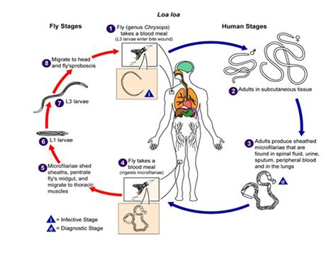 diagram of nematode nematoda nematodes roundworms animalia