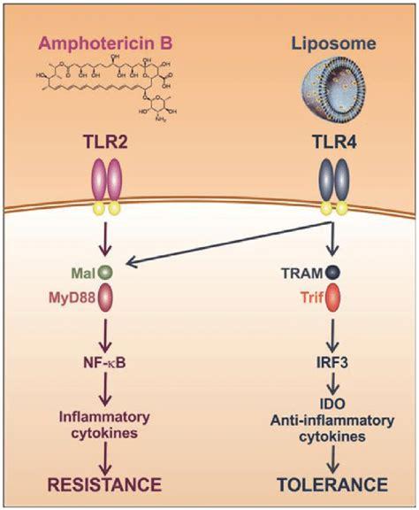 immune tolerance induction wiki immune tolerance induction by liposomal hotericin b amb liposomes