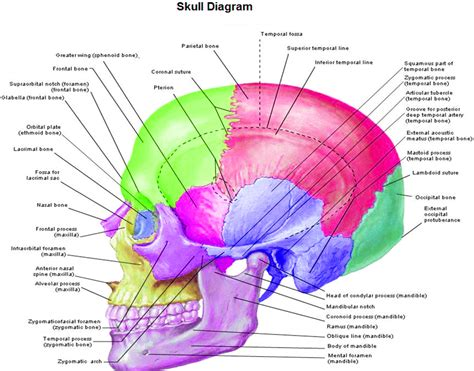 skull diagram anatomy chart diagram charts diagrams graphs best