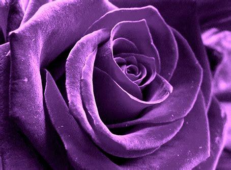 fiori colore viola il significato e le propriet 224 dei colori il colore viola