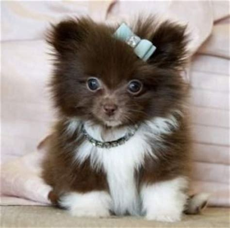 tiny pomeranians tiny teacup pomeranian puppies for sale eastpointe mi asnclassifieds