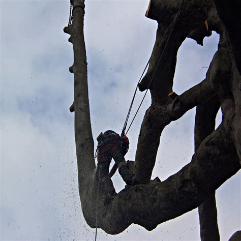 plymouth tree services plymouth tree surgeon services dartforest treeworks