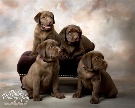 lab puppies for sale in california labrador retriever puppies for sale in ca ruff motorcycle review and galleries