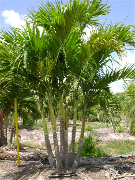 adonidia palm for sale 100 palm trees for sale palm tree