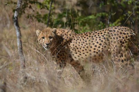baby ghost cheetah pictures to pin on pinterest pinsdaddy