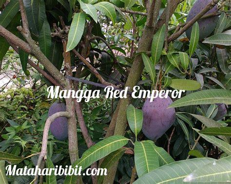 Jual Bibit Mangga Emperor jual bibit mangga unggul terlengkap lokal dan impor 14