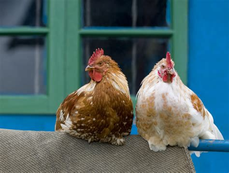 Backyard Chicken Laws by Raising Backyard Chickens What You Need To The
