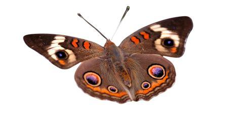 imagenes png mariposas imagenes png fondo transparente mariposas