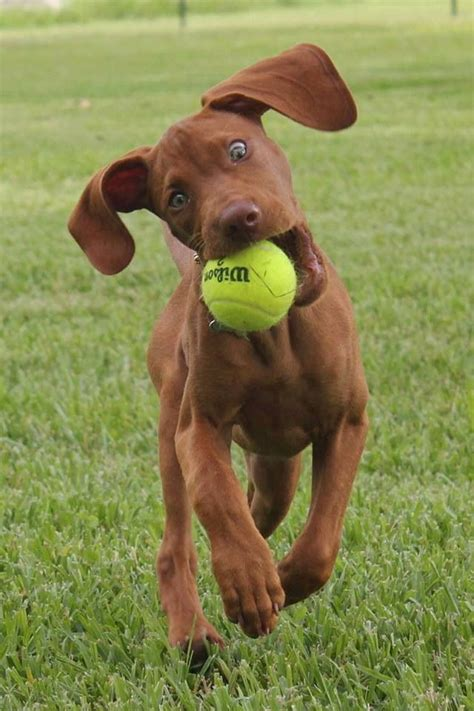 vizsla puppies ohio best 20 vizsla puppies ideas on