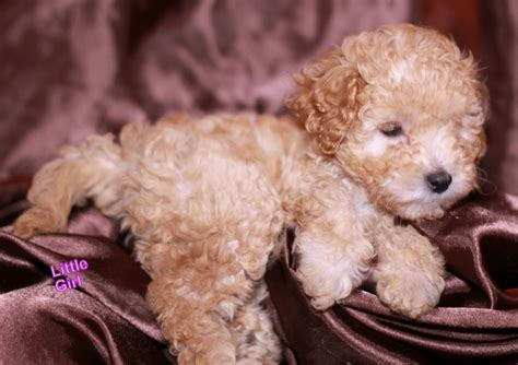 mini goldendoodle tucson labradoodle for adoption in az 28 images adorable f1b
