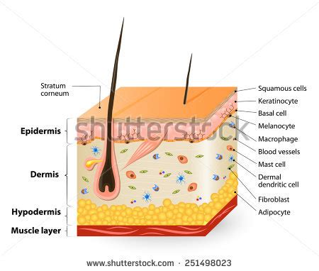 human skin cells stock photos human skin cells stock images alamy royalty free cutaneous receptors sensory receptors 278416859 stock photo avopix