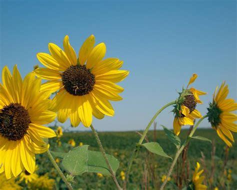 imagenes flores amarillas canalred gt fondos de pantalla gt flores gt flores amarillas
