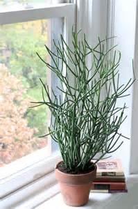 pencil cactus home pinterest