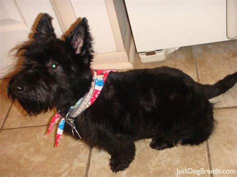 hair cuts for a scottish terrier scottish terrier haircut guide dog breeds picture