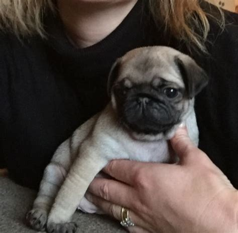 pug silver fawn quinlataine silver fawn pugs carmarthen carmarthenshire pets4homes