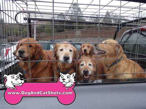 golden retriever vaccination cost low cost and cat in northern california a whole truckload of golden