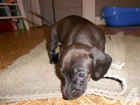 chiweenie puppies for sale in nc chiweenie puppies ready april 18th for sale in cameron carolina classified