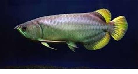 Anakan Arwana Green Pino rib jenis jenis ikan arwana