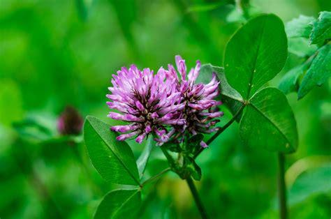 fiore trifoglio fiore trifoglio 28 images trifoglio fiore archivi