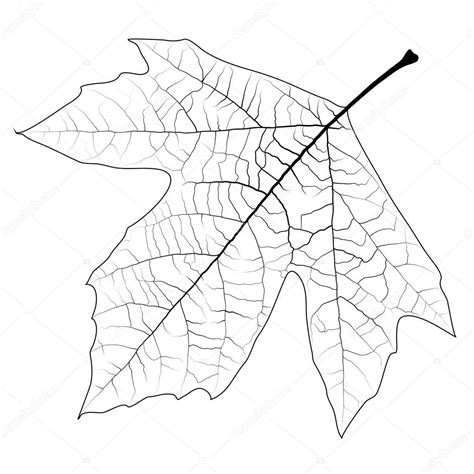 sycamore leaf coloring page sycamore leaf coloring page coloring pages