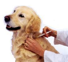 puppy vaccinations at home can i give my a vaccination at home diy vaccinations