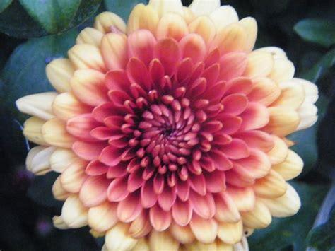 november birth november birth flower chrysanthemum tattoos