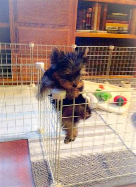 do yorkies grow 6984 best images about yorkie on