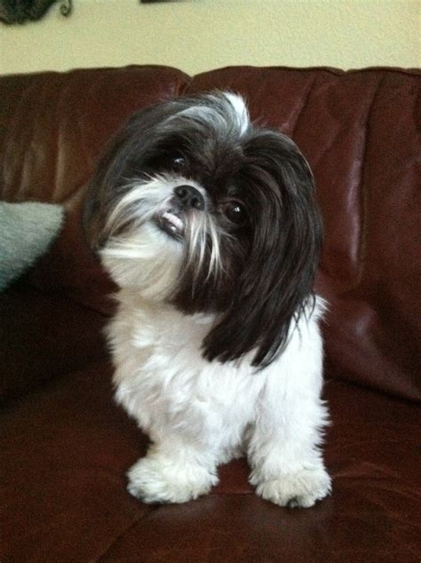 my shih tzu has 102 best images about shih tzu on names korean style and pets