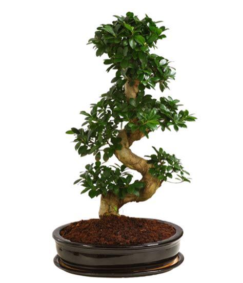 Bonsai Ficus Kaufen by Birkenfeige Ginseng Bonsai In Keramik Dehner