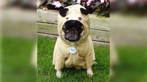 pug wearing pug costume 15 adorable pugs wearing ridiculously clothes