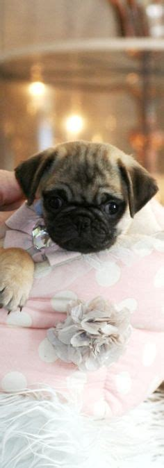 hug puppies for sale teacuppuppiesstore on boutique teacup puppies and teacup dogs