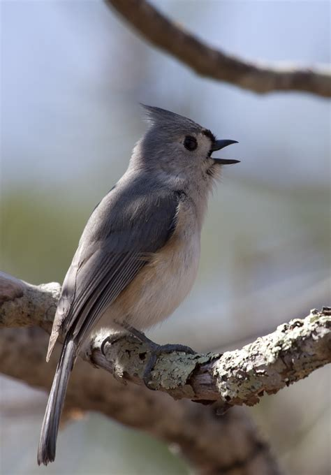 tufted titmouse photos and wallpapers collection of the