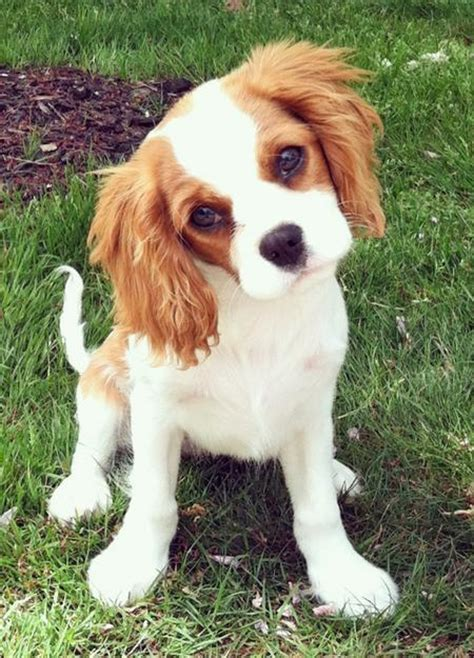 king charles puppy the king charles cavalier spaniel pictures of puppy dogs breeds picture