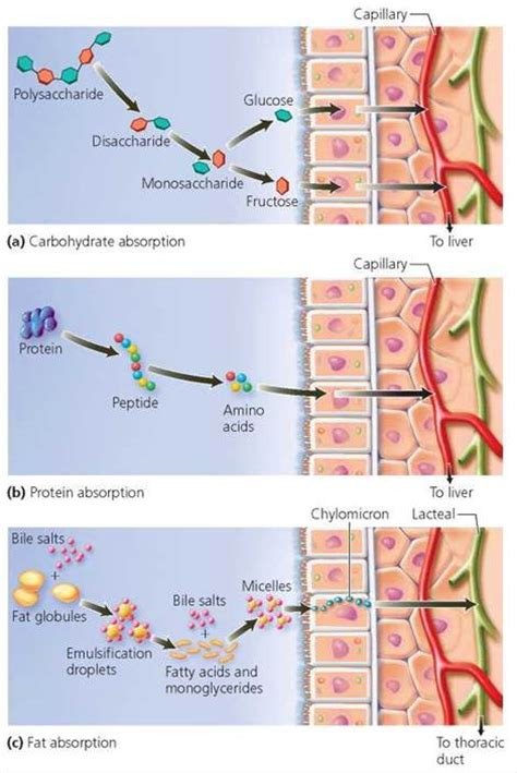 3 carbohydrates absorbed by epithelial cell the digestive system biology of humans
